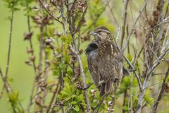 Song sparrow perched in a bush. A song sparrow melospiza melodia is perched in a bush in Hauser, Idaho stock image