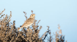 Song Sparrow - Melospiza melodia Stock Images