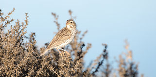 Song Sparrow - Melospiza melodia Royalty Free Stock Photography