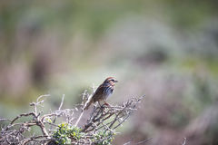 Song Sparrow - Melospiza melodia Royalty Free Stock Image