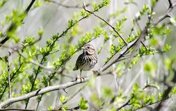 Song Sparrow songbird in budding tree in spring, Georgia USA. Song Sparrow, Melospiza melodia, perched in tree with budding leaves in spring. Photographed in Royalty Free Stock Photo