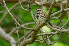Song Sparrow - Melospiza melodia. Song Sparrow perched on a branch with the legs of a meal dangling out of its beak. Colonel Samuel Smith Park, Toronto, Ontario Stock Photography