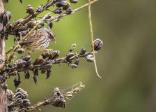 Song Sparrow Melospiza melodia Royalty Free Stock Image