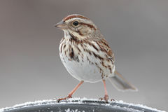 Song Sparrow (Melospiza melodia) in Winter. Song Sparrow (Melospiza melodia) on a perch in winter stock image