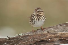 Song Sparrow Melospiza melodia in winter. Song Sparrow Melospiza melodia perched on a tree limb in winter Stock Photo