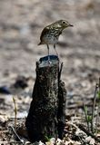 Song Sparrow at Montrose Harbor. This is a Spring picture of a Song Sparrow perched on a tree stump in the Montrose Harbor Bird Sanctuary located in Chicago Royalty Free Stock Images