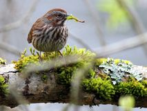 Song Sparrow on Mossy Branch. A Song Sparrow perched on a mossy branch in Western Washington stock image