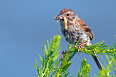 Song Sparrow. With a mouthful of bugs Stock Images