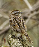 Song Sparrow. A neatly patterned Song Sparrow perches on a broken branch as it surveys its surroundings stock images