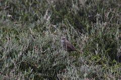 Song Sparrow 7. A Song Sparrow at the Palo Alto Wetlands, California Royalty Free Stock Photos