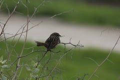 Song Sparrow 2. A Song Sparrow at the Palo Alto Wetlands, California Stock Photo