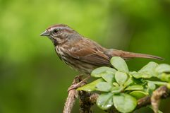 Perched. Song Sparrow royalty free stock image