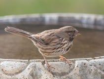 Song Sparrow. A Song Sparrow perched on a bird bath Royalty Free Stock Photo
