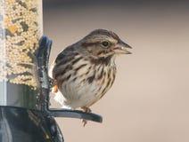 Song sparrow on bird feeder Royalty Free Stock Photo