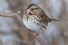 Song Sparrow. Perched on a branch stock photography