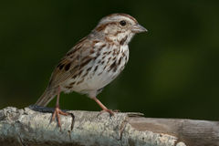 Song Sparrow. Perched on a branch royalty free stock image