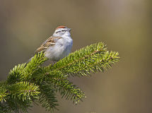 Song Sparrow. Perched on a branch Royalty Free Stock Photos