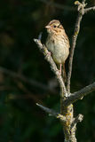 Song Sparrow. Perched on a branch Stock Images