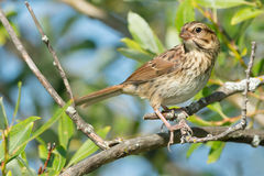 Song Sparrow. Perched on a branch Stock Photos