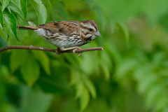 Song Sparrow. Perched on a branch Royalty Free Stock Photography