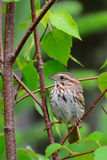 Song sparrow perched on branch. Song sparrow perched on birch tree branch stock photo