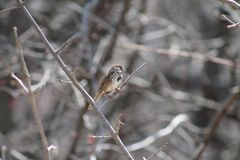 Song Sparrow. Perched on branch in early spring Stock Photo