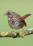 Song Sparrow - Melospiza melodia. A Song Sparrow perched on a branch with a green background Royalty Free Stock Photography
