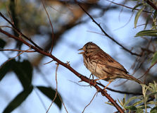 Song Sparrow. Perched on branch in morning sun Royalty Free Stock Photo