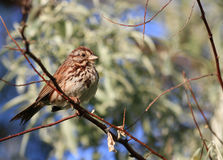 Song Sparrow. Perched on branch in morning sun Stock Photo