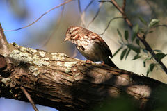 Song Sparrow. Perched on branch in morning sun Royalty Free Stock Photography