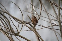 A song sparrow perched on a branch. With a pond in the background stock images