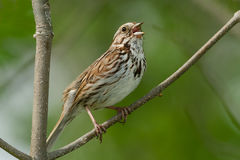 Song Sparrow. Perched on a branch and singing Royalty Free Stock Photos