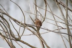 A song sparrow perched on a branch. With a pond in the background stock photography