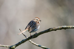 Song Sparrow. Perched on a branch during spring migration Royalty Free Stock Photos