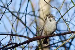 Song Sparrow Perched on a Branch in a Tree. In Early Spring Stock Images