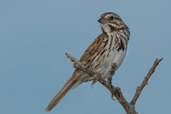 Song Sparrow. Perched on a dead branch Stock Photos