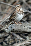 Song Sparrow. Perched on a dead branch and singing Royalty Free Stock Photos