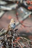 Song sparrow perched on a grapevine. On a spring day Royalty Free Stock Photography