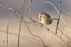 Song Sparrow Perched on Leafless Bush. In the Marsh Stock Photo
