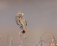 Song Sparrow. A song sparrow perched on a limb Royalty Free Stock Photo