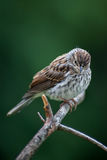 Song Sparrow. A Song Sparrow perched on a pine branch Royalty Free Stock Photos