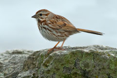 Song Sparrow. Perched on a rock Royalty Free Stock Photography