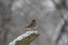 Song sparrow perched on snow covered log. Song sparrow perched upon a snow covered log, winter background Stock Photo
