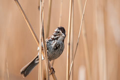 Song Sparrow. Perched on some reeds Stock Image