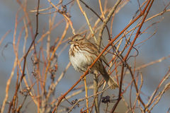 Song Sparrow. Perched in a thicket with the morning sun hitting it Stock Photography