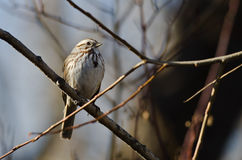 Song Sparrow Perched in a Tree. Song Sparrow Perched on a Branch in a Tree stock photos