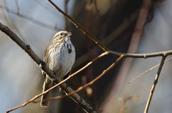 Song Sparrow Perched in a Tree. Song Sparrow Perched on a Branch in a Tree Royalty Free Stock Photos