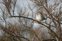 Song Sparrow Perched in a Tree. Song Sparrow Perched on a Branch in a Tree Stock Images