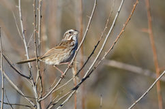 Song Sparrow Perched in a Tree. Song Sparrow Perched on a Branch in a Tree Royalty Free Stock Image