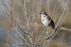 Song Sparrow Perched in a Tree. Song Sparrow Perched on a Branch in a Tree royalty free stock photography